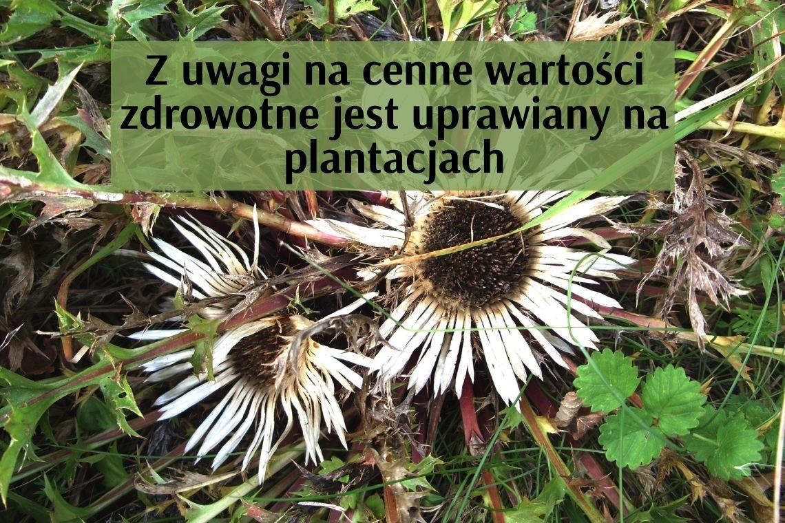 DZIEWIĘĆSIŁ BEZŁODYGOWY –  jest u nas w Polsce pod ochroną