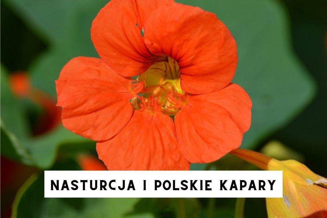 NASTURCJA I POLSKIE KAPARY